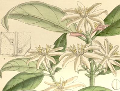 Coffea Stenophylla – минало и бъдеще (част 2)