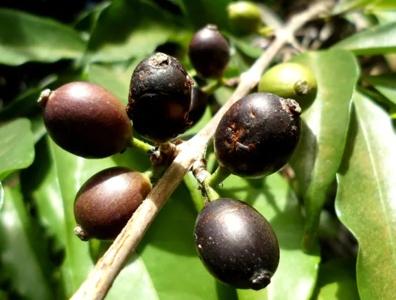 Coffea Stenophylla – изчезналият кивот в света на кафето